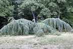 Дерево паук