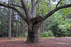Пушкинский дуб