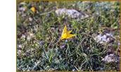 Скифский тюльпан