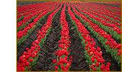 Поле тюльпанов. Янтарное, Крым